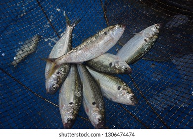 gizzard shad on the basket