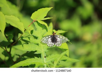 Glacial Apollo or Japanese Clouded Apollo (Parnassius citrinarius ) in Japan