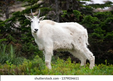 Glacier np Mountain Goat standing Broadside surounded by green vegitation.
