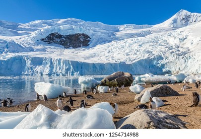 Glacier wall and penguins running amd laying among the icebergs on the sandy beach at Neco bay, Antarctica