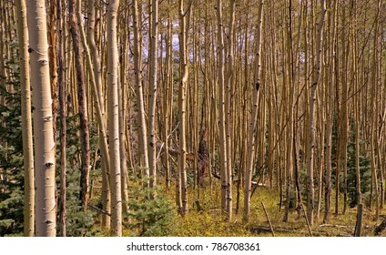 A glade of aspen trees, all connected by the same root system in early autumn in the Rocky Mountains.