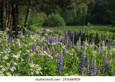 A glade of blue lupins in the forest