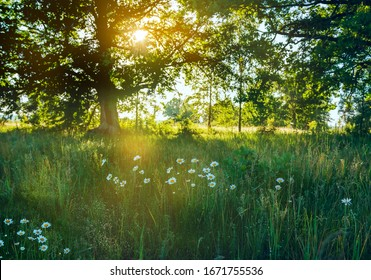 Glade in dew and blooming daisy flowers in the early morning in the forest. the rays of the sun breaking through tree branches.