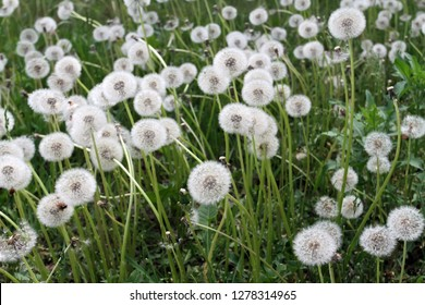 Glade with fluffy dandelions