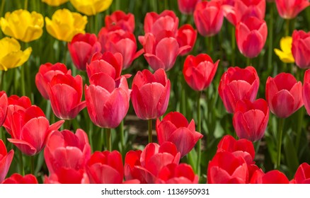 Glade of red tulips in the wild as a background.