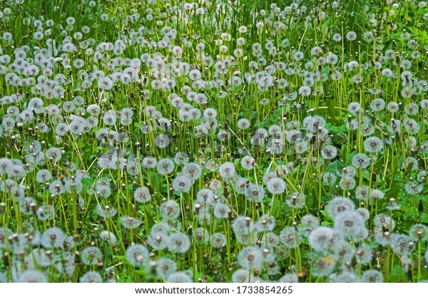 glade-ripened-dandelions-on-shady-600w-1