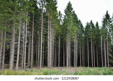 Glade in a spruce tree forest with tall trees