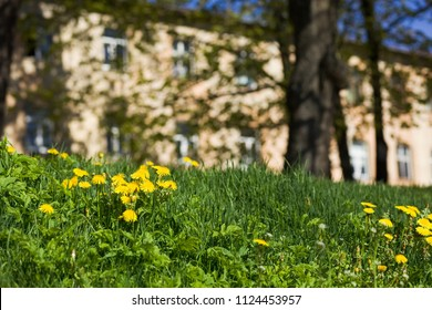 Glade with yellow dandelions in a town park