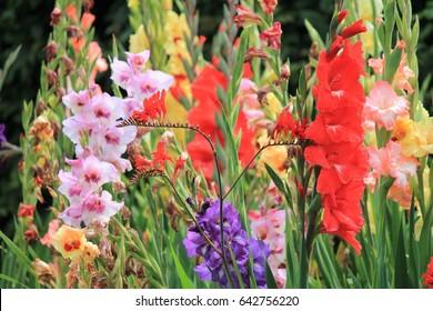 gladioli gladiolus flower many flowers growing spring summer sword lily group