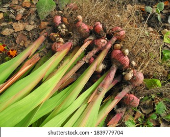 Gladiolus bulbs with leaves dug up from soil before winter for storage. Gardening and flower propagation.
