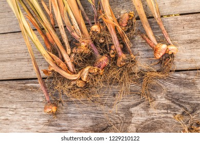 Gladiolus bulbs on a wooden table after the end of the growing season