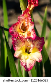 Gladiolus Close Up, beautiful flowers blooming in the garden