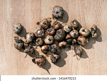 Gladiolus corms on wood background, Growing gladiolus corms without soil