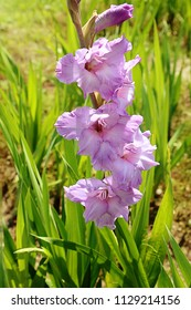 Gladiolus cultivation in summer, pink delicate flowers with soft focus