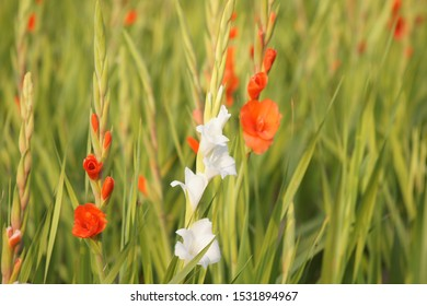 gladiolus flower in field - selective focus