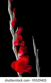 Gladiolus flower on black and white background