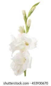 White gladiolus flower images stock photos vectors shutterstock gladiolus flower on a white background mightylinksfo