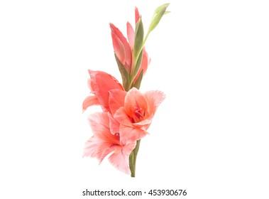 gladiolus flower on a white background