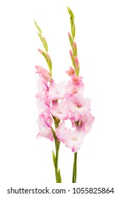 gladiolus flowers isolated on white background