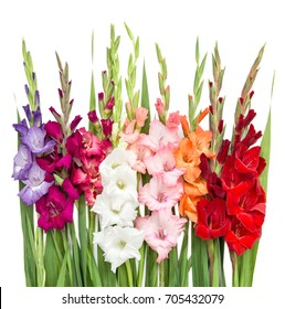 Gladiolus flowers isolated on white background. Nature object
