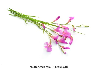 Gladiolus italicus is a species of gladiolus known by the common names Italian gladiolus, field gladiolus, sword-lily.