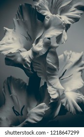 gladiolus on a gray background, black and white image, abstract composition.