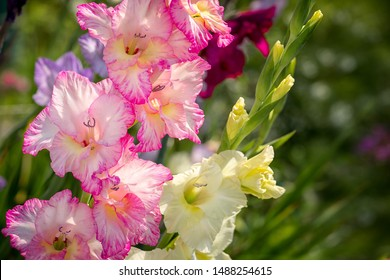 Gladiolus, Sword Lily, pink and yellow Gladiolus flower in the garden.