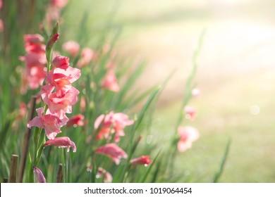 Gladiolus and warm light in blurry garden in background