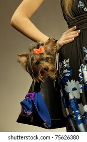 Glamor woman with Yorkshire Terrier dog in her bag