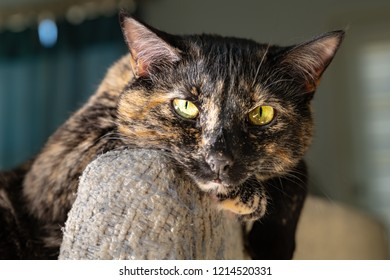 A glamorous beautiful tortoiseshell cat poses for the camera