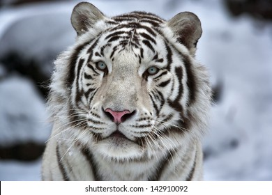 Glamour portrait of a young white bengal tiger. Closeup portrait.