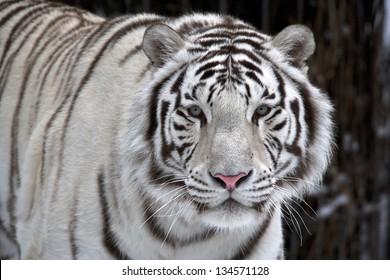 Glance of a passing by white bengal tiger. Closeup portrait