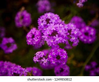 Glandularia, aka Mock Vervain or Mock Verbena, Small bunches of intense purple flowers