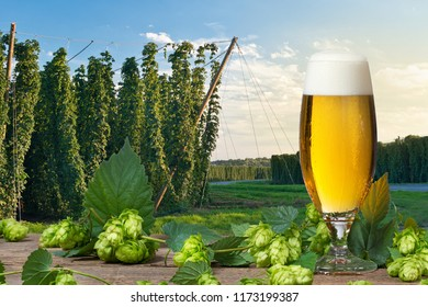 Glass of beer with hop cones in front of hop field.