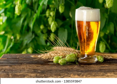 Glass of beer on wooden rustic table with wheat ears and hop cones in front of hop plantation.