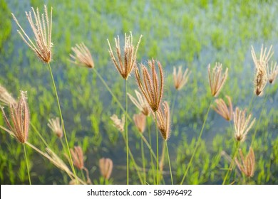 Glass flowers with rice field background