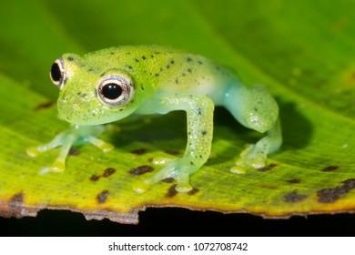 Glass Frog (Chimerella mariaelenae) on a leaf in the rainforest, Morona Santiago province, Ecuador