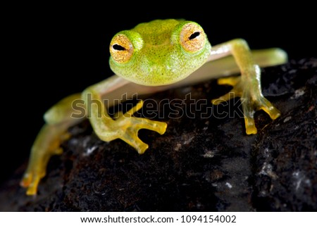Glass frog (Hyalinobatrachium cappellie)
