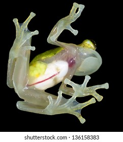 Glass Frog (Hyalinobatrachium iaspidense). Glass frogs have transparent undersides and their internal organs are visible