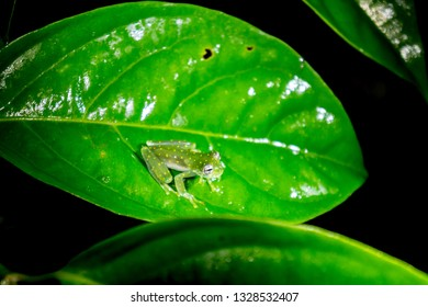 Glass Frog - The Yellow Flecked Glassfrog in Costa Rica