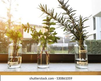 Glass jars of green herbs on window cill