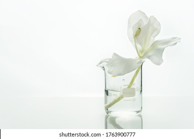 glass science beaker with water and white soft natural flower for cosmetic research white laboratory background