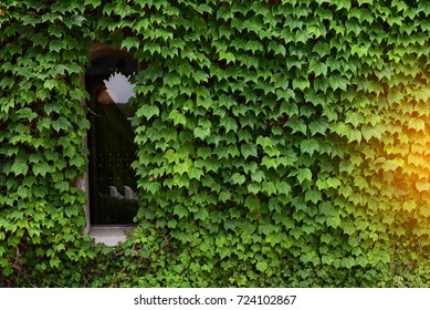 Glass window and Maple green leaves on wall background