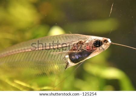 5898b52bdd7d Glassfish Stock Photo (Edit Now) 125254 - Shutterstock. Glass-fish
