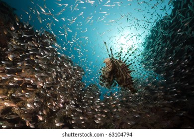 glassfish hunted by lionfish taken in the Red Sea.