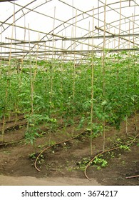 A glasshouse of organic tomatoes