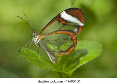 Glasswing butterfly in Hortus Botanicus Amsterdam