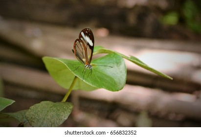 Glasswing Butterfly. Native to subtropical South America, photographed in Ecuador.