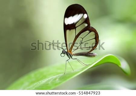 Glasswinged Butterfly Stock Photo Edit Now 514847923 Shutterstock