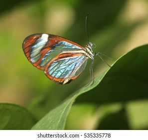 glasswinged butterfly with transparent wings, Costa Rica